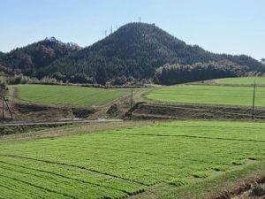 有機大麦若葉圃場